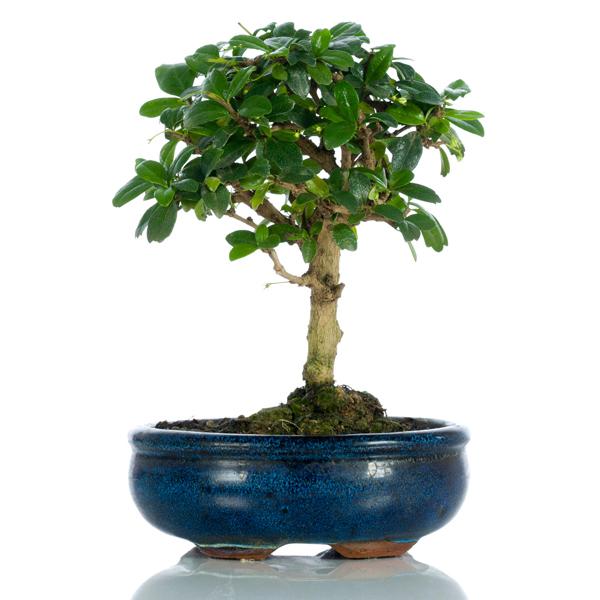 Bonsai carmona medium bomboniera Pangea
